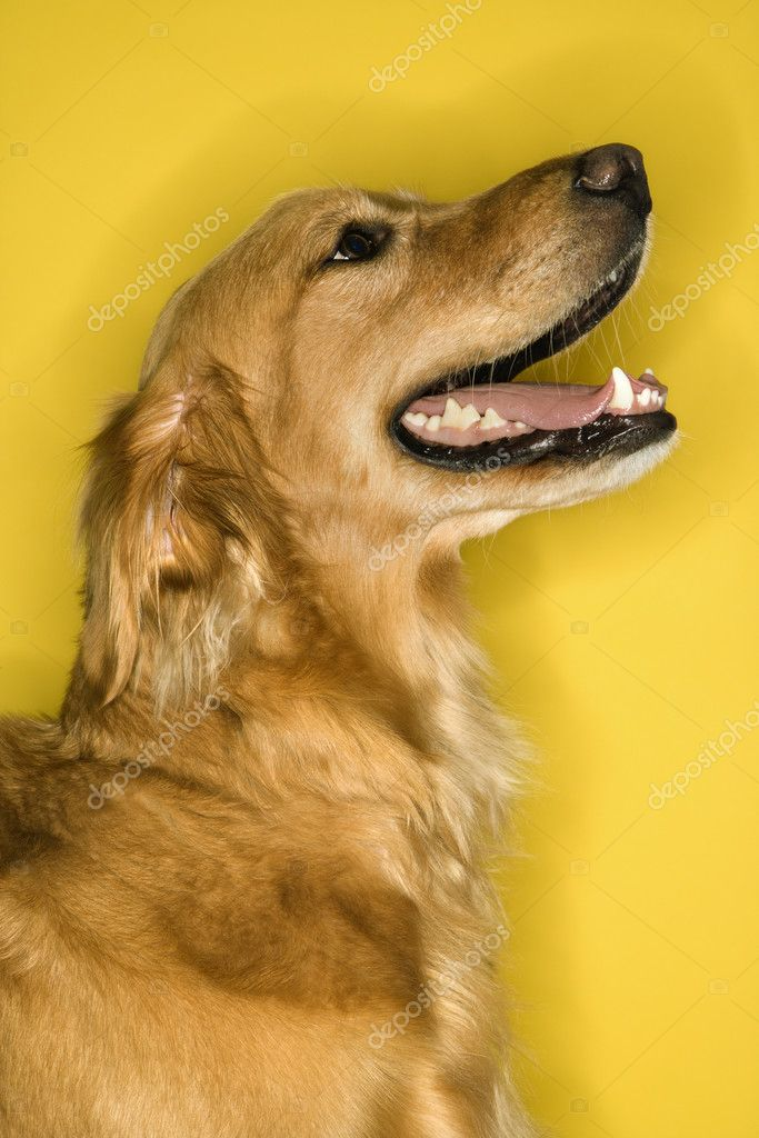 Golden Retriever dog profile. — Stock Photo #9433827