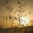 Oat plants at sunset. - Stock Photo