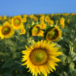 Field of Sunflowers — ストック写真