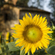 Sunflower, Tuscany, Italy. — Stock Photo