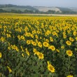 Sunflower field, Tuscany. - Foto de Stock  