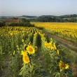 Sunflower field, Tuscany. - Stockfoto