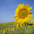 Sunflower in a Field — Stock Photo