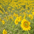 Sunflower field. - Stock fotografie