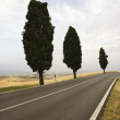 Cypress trees along road. — Stok fotoğraf