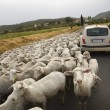 Sheep and Car on Rural Road - Stock Photo