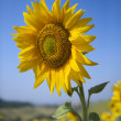 Yellow sunflower in field. — Stock Photo