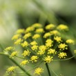 Yellow cluster bloom on plant. - 图库照片