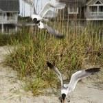Seagulls swooping onto beach. — Stock Photo