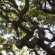Royalty-Free Stock Photo: Live oak tree.