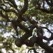 Stock Photo: Live oak tree.