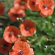 Stock Photo: Red poppy flowers.