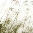 Stock Photo: Long grass.