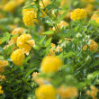 Stock Photo: Yellow shrub Verbena.