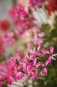 Růžové květiny pelargónie. — Stock fotografie