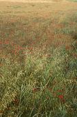 Poppy field, Tuscany, Italy. — Stock Photo