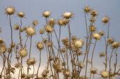 Thistle plants, Tuscany, Italy. — Stock Photo