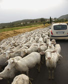 Sheep and Car on Rural Road — Stock Photo