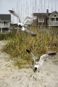 Seagulls swooping onto beach. — Stock Photo