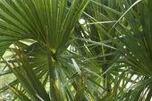 Fan palms. — Stock Photo