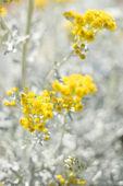 Yellow flowering plant. — Stock Photo