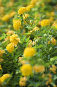 Yellow shrub Verbena. — Stock Photo