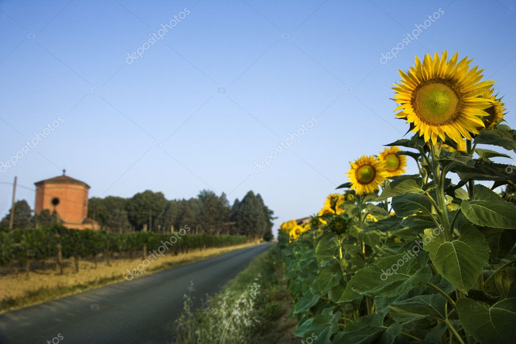 Sunflowers next to a rural road in Tuscany, with a blue sky as background. Horizontal shot. — Stock Photo #9496955