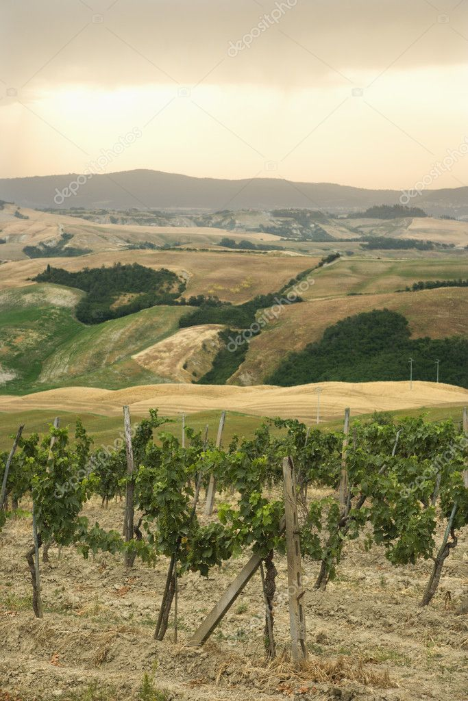 Tuscan vineyard with rolling hills in distance. — Stock Photo #9496999