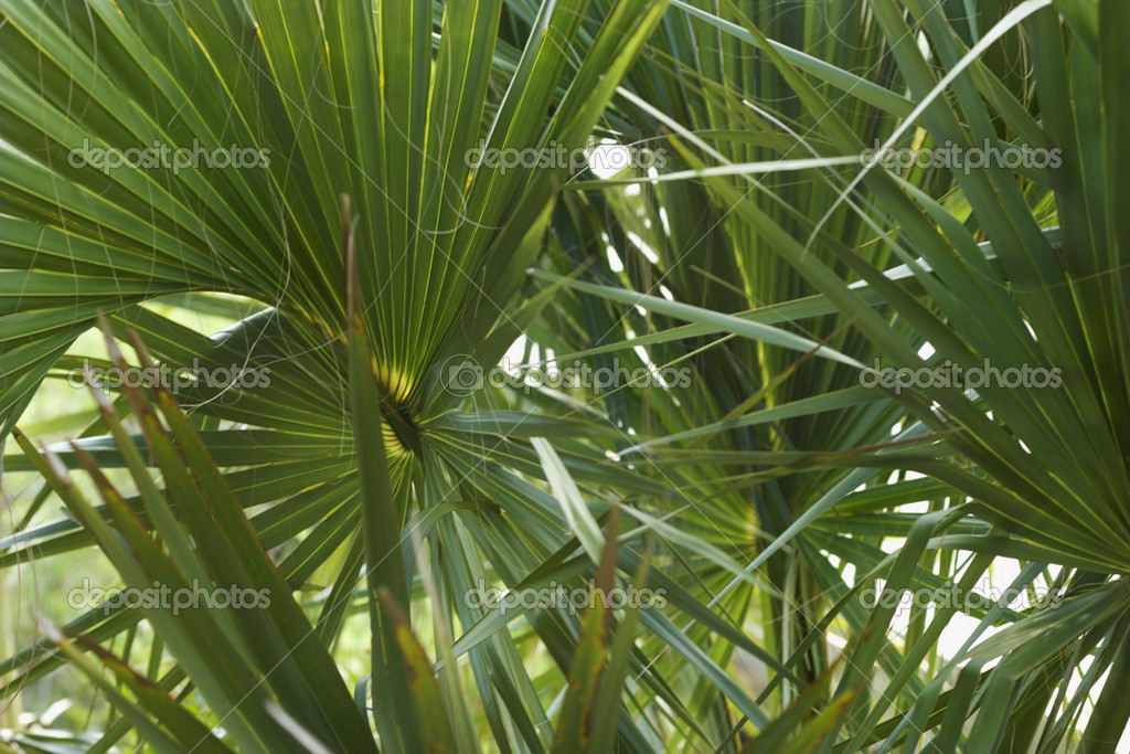 Fan palms. — Stock Photo #9498575