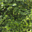 Green lush Jasmine bush - Stock Photo