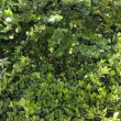 Green lush Jasmine bush - Photo