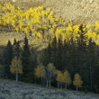 Aspen trees in Fall color. - Stock Photo