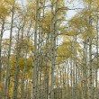 Stock Photo: Aspen trees in Fall color.