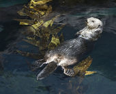 Otter swimming in aquarium. — Stock Photo