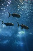 Three fish swimming. — Stock Photo