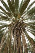 Close-up of Palm tree. — Stock Photo