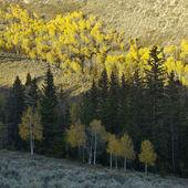 Osika stromů v barvy podzimu. — Stock fotografie