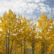 Aspen trees in fall color. — Stock Photo