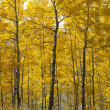 Aspen trees in Wyoming. - Stock Photo