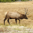 Stock Photo: Elk in Yellowstone Park.