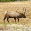 Elk in Yellowstone Park. — Stock Photo