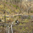 Growth after forest fire. - Zdjęcie stockowe