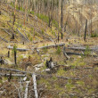 Growth after forest fire. - Photo