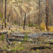 Growth after forest fire. - Stock Photo