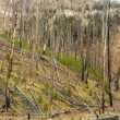 Growth after forest fire. - ストック写真