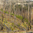 Growth after forest fire. — Stock Photo