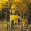 Aspen trees in Wyoming. — Stock Photo