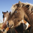 Falabella miniature horses. - Stock Photo