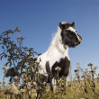 Falabella horse. - Stock Photo