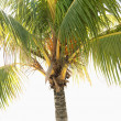 Palm tree. — Foto de Stock